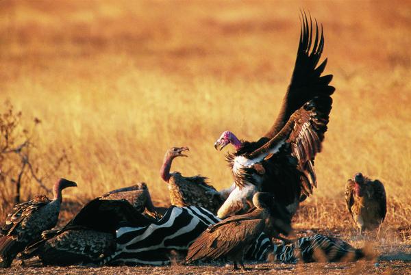 《野性激情》这里展出的是以非洲大草原野生动物为题材的摄影作品。作者夏富祥先生运用光影艺术的特殊语言,向我们讲述了野生动物的多姿多彩的野性美这是一种久违了的生命存在方式之美和生态结构方式之美。   野性,是野生动物的基本属性,是野生动物的常态,也是自然美在野生动物身上的具体体现。然而,由于自然和社会的多方面原因,我们离动物的野性美却越来越远了我们在动物园看到的动物野性,是受束缚和变异的野性。这次展览,作者通过一幅幅作品,聚焦了野生动物在大自然环境中的食睡行止,嬉戏搏杀,生存繁衍,再现了一种野性